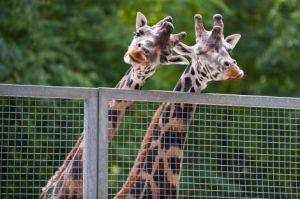 Дом жирафов в Рижском зоопарке