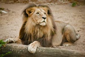 Лев в Рижском зоопарке