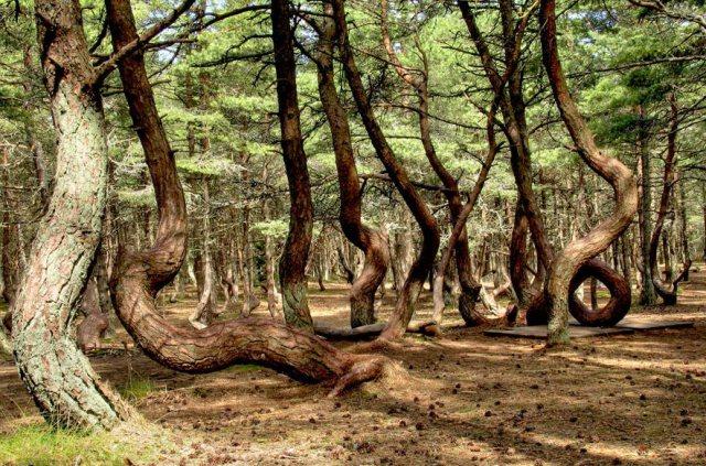 Танцующий лес Куршской косы